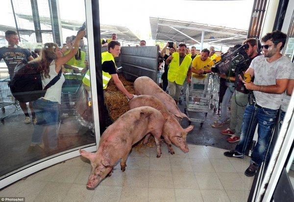 為抗議農產品價格下跌,法國農民把活豬趕進超市