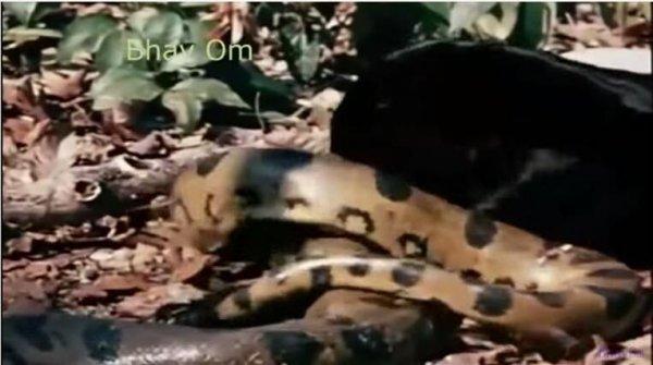 巨蟒活吞近2米长鳄鱼